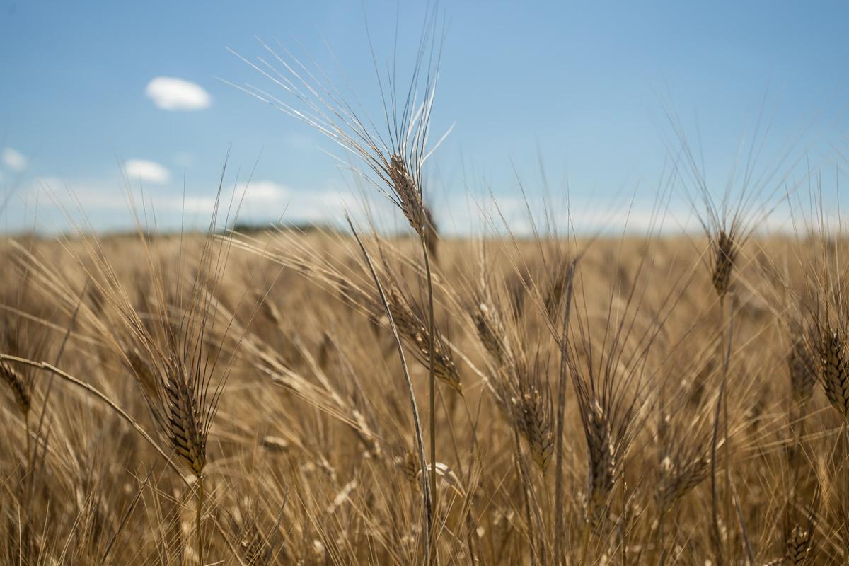 spiga di grano duro
